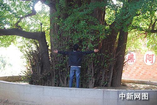 千年白果王 银杏树吸引游人