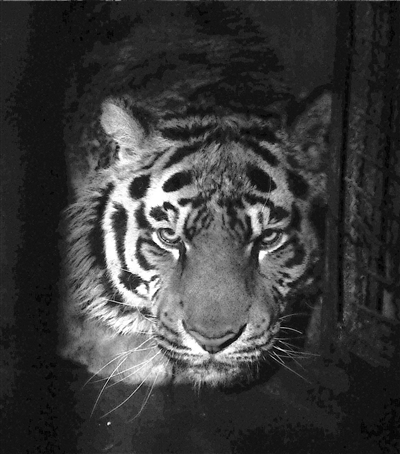 这是沈阳森林野生动物园内的一只东北虎(3月13日摄).