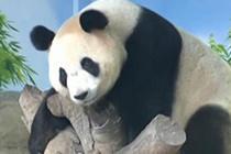 大熊猫三胞胎卖萌耍酷