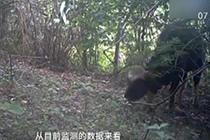 云南保护区拍到27头世界体型最大的牛 1头野牛重1.5吨