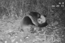 喝水卖萌 龙池又现野生大熊猫踪迹