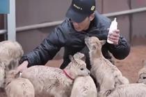 暖心!11只藏羚羊幼仔得到救助