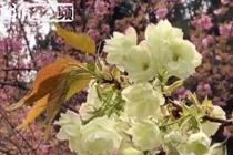 中科大校园内樱花盛放