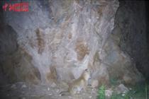 红外相机记录黄河源区域小狐狸艰难生存画面