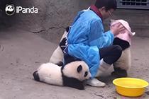大熊猫挤破头求搓澡