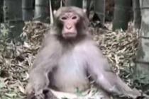 """佛系小猴""""参禅打坐""""走红"""