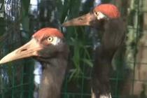 高原黑颈鹤在低海拔地区繁育成功