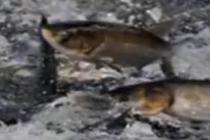 养殖户巡视池塘 鱼跃起打伤其眼睛