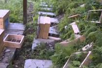 野生黑熊蜂场偷蜜 监控拍下全程