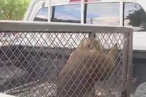 猴子私闯民宅 偷食砸盆被抓获