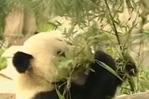 """旅美十五年 大熊猫""""高高""""启程回国"""