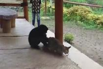 想交朋友?长臂猿紧紧追逐小猫