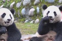 """吃货大熊猫姐弟每日表演""""吃播"""""""