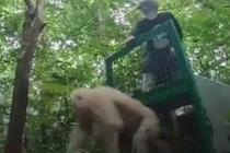"""""""白猩猩""""被放归印尼森林"""