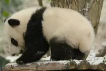 降雪营造大熊猫过冬场景