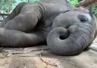 泰国小象睡姿走红 打完呼噜还吃鼻子