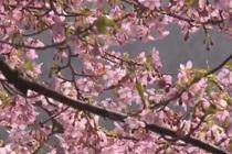 上海早樱盛开 浪漫赏樱季启幕