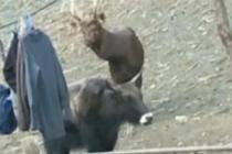 水鹿造访村寨 相机记录珍贵影像