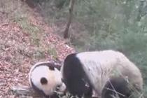 相机捕捉到野生大熊猫母子活动
