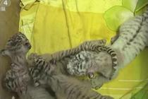 虎妈产四胞胎 一只为珍稀白虎