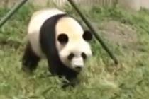 """大熊猫三胞胎大姐""""萌萌""""回川繁育"""