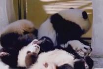 大熊猫宝宝集体晒太阳