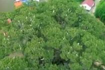 千年古樟树上筑巢 鸟树人和谐相处
