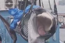 日本重启商业捕鲸 首头被捕鲸画面曝光