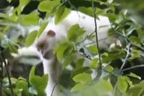 探寻罕见白化黑叶猴 猴群里有一大一小两只