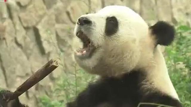 北京动物园大熊猫被投石 园方呼吁文明游览