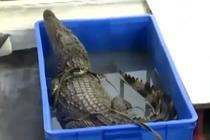 男子家中养鳄鱼当宠物 吓坏周围邻居