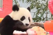 四川卧龙十八只熊猫幼崽共庆周岁
