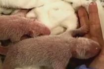 """旅德大熊猫""""梦梦""""生下双胞胎"""