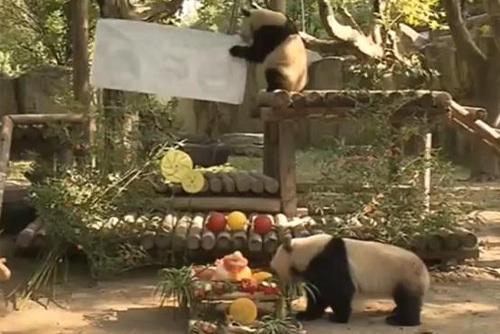 动物园三只大熊猫过生日