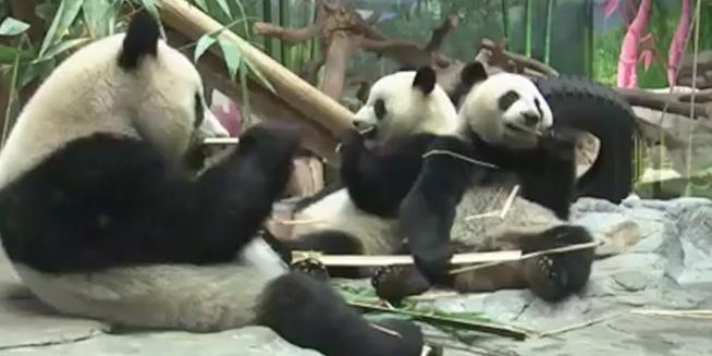 天冷啦!熊猫三胞胎推荐抗冻大法:吃饱饱 睡觉觉