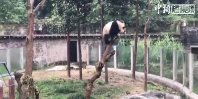 """爆笑大熊猫宝宝爬树偷看隔壁""""熊孩子""""玩玩具"""