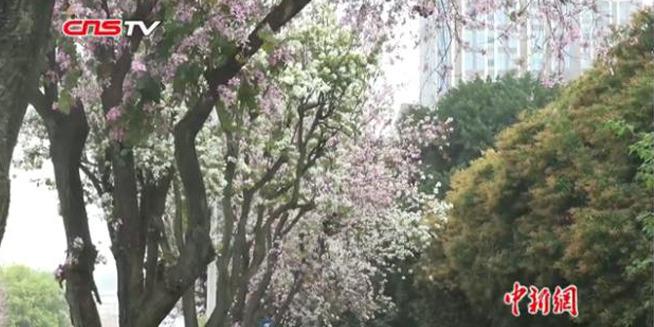"""福州满城遍开羊蹄甲 落叶缤纷赏""""秋景"""""""