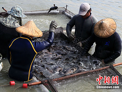 台湾高雄探访ECFA早收清单石斑鱼养殖基地
