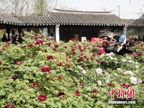 谷雨节盐城枯枝牡丹应时绽放 游客赏奇花听传说
