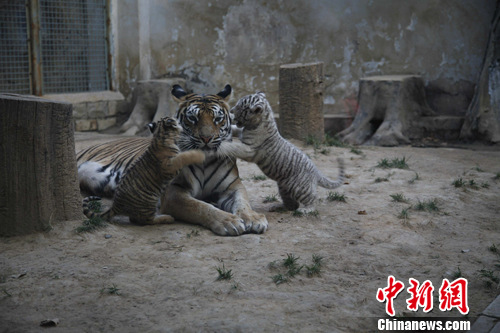 首页 新闻中心 图片新闻      10月21日,济南动物园4只刚诞生51天的