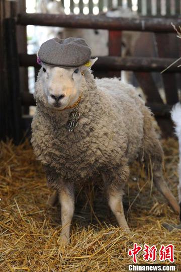 """英农场惊现""""色羊"""" 1天令33只母羊怀孕 - 高山松 - gaoshansong.good 的博客"""