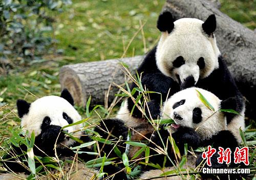 成都 刘忠俊/图为成都大熊猫繁育基地内三只正在吃竹叶的大熊猫。中新社发刘...