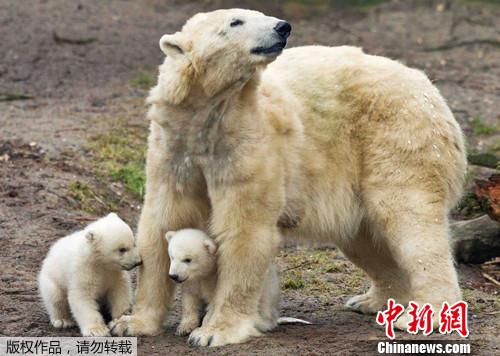荷兰动物园北极熊双胞胎亮相