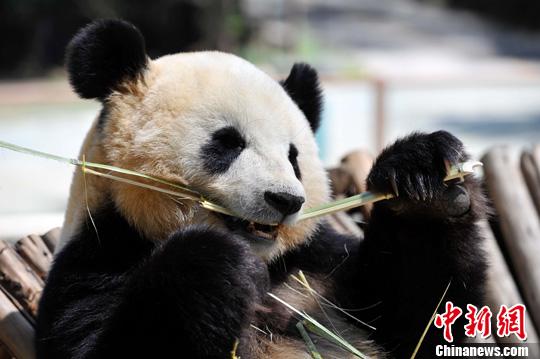 震区熊猫昆明幸福生活