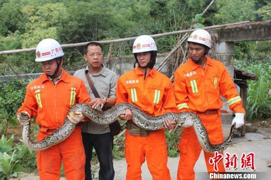 广西大蟒蛇进村偷鸡被消防官兵抓获