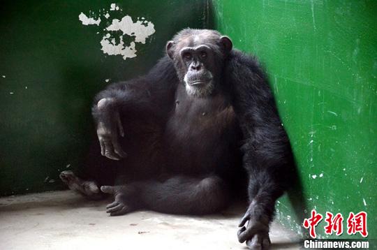 辽宁:黑猩猩从动物园出逃 30名特警出动将其抓获(4)
