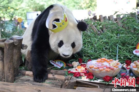 9月28日,云南野生动物园为大熊猫思嘉,美茜准备特制冰蛋糕,庆祝成