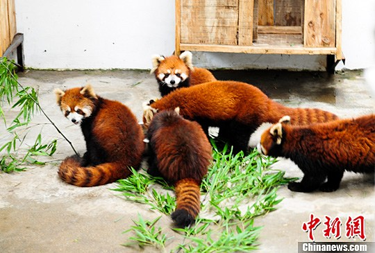 六只小熊猫安家济南动物园-中新网
