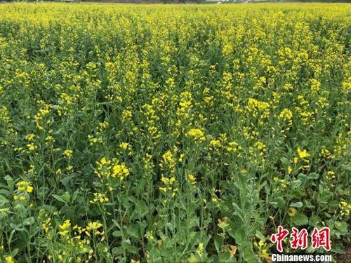 吉林集安鸭绿江畔千亩油菜花开醉游人