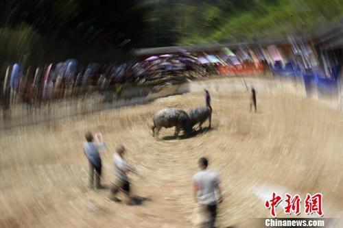 4月7日,广西柳州市三江侗族自治县仙人山景区举办斗牛争霸赛。图为人们在观看两头水牛打斗。龚普康 摄
